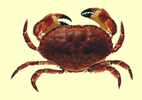 edible crab (graphic)